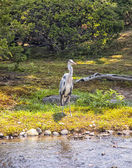 Heron in the river — Stock Photo
