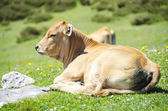 Cow on grass — Stockfoto