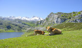 Cows in the mountains — Stockfoto