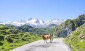 Kuh auf der straße — Stockfoto
