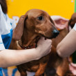 Veterinarian doctor making check-up of a dachshund — Stock Photo #23533127