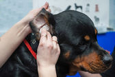 Dog getting ear cleaned. — Stock Photo