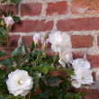 Stock Photo: White roses with brickwork