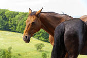 Horses on a Pasture — Stockfoto
