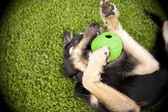 Perro joven con un juguete — Foto de Stock