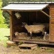 Sheep Refuge — Stock Photo