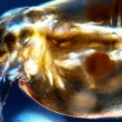 Water Flea — Stock Photo