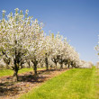 Cherry Trees — Stock Photo #29872799