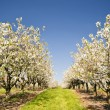 Cherry Trees — Stock Photo #29872857