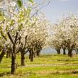 Cherry Trees — Stock Photo #29872953