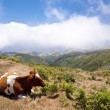 Stock Photo: Cows on Madeira