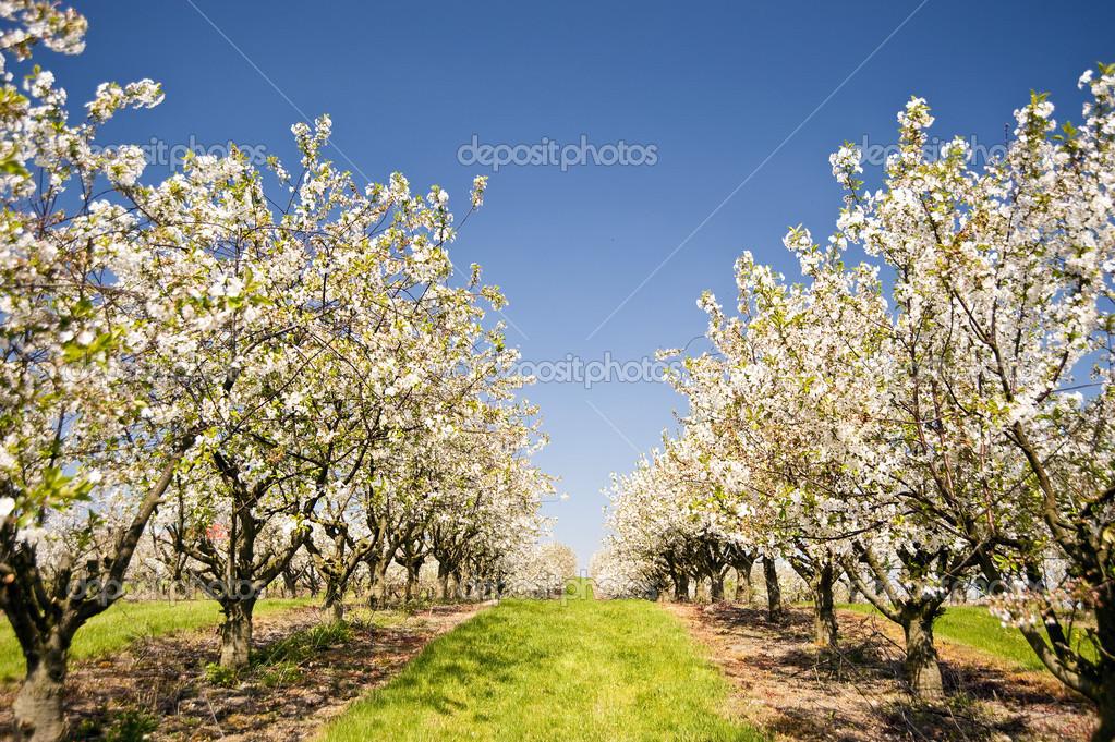 樱桃树 — 图库照片083quarks#29872857