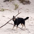 Stock Photo: Playing dog on Baltic Sebeach
