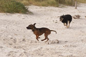 Playing dogs on the Baltic Sea beach — Stock Photo