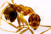 Detail of an Ant — Stock Photo