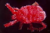 Nymph of a Trombidium Holosericeum — Stock Photo