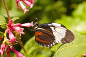Heliconius cydno — Stock Photo