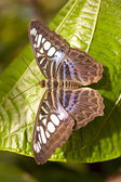 Blue Clipper Parthenos sylvia lilacinus — Stock Photo