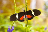 Heliconius clysonymus — Stock Photo