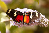 Heliconius doris — Stock Photo