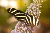 Heliconius charitonius — Stock Photo
