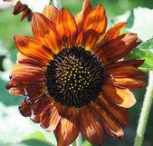 Dark brown decorative sunflowers — Stock Photo