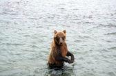 Kamchatka brown bea — Stock Photo