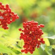 Mountain ash branches with red berries — Stock Photo