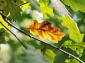 Dry oak leaf among green ones — Stock Photo