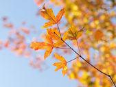 Japanese maple leaves — Stock Photo