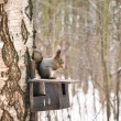 Stock Photo: Sqirrel in winter