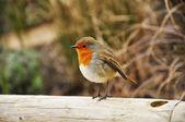 A robin — Stock Photo
