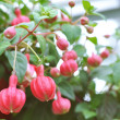 Fuchsia buds — Stock Photo