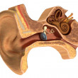 Realistic 3d render of ear anatomy — Stock Photo