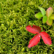 Strawberry leaves on moss — Zdjęcie stockowe