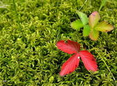 Strawberry leaves on moss — Stock Photo