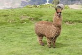 Alpaca on a green field — Stock Photo