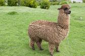 Alpaca on a green field — Stock Photo