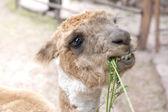 Llama eating grass — Stock Photo