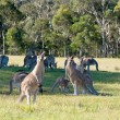 Kangaroos — Stock Photo