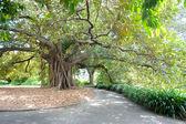 Large Tree, Royal Botanical Gardens — Stock Photo
