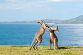 Boxing Kangaroos - Australia — Stock Photo