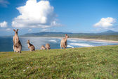 Kangaroos - Australia — Stock Photo