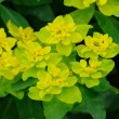 Yellow-green flowers in Fulda, Hessen, Germany — Foto de Stock