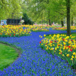 Blue and yellow tulips and daffodils in Keukenhof park in Hollan — Stock Photo