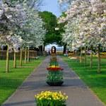 Alley with white blooming trees (Prunus triloba) in Keukenhof pa — Stock Photo #32100893