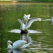Graceful fluttering swan with 3 others swans in the river in Keu — Stock Photo