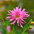 Pink Aster (Michaelmas daisy) close-up, Moscow region, Russia — Stock Photo #32101041
