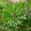 Colorful fresh green young pine branch close-up, Sergiev Posad, — Stock Photo #32101083
