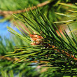 Colorful fresh green young pine branch with a young bud close-up — Stockfoto